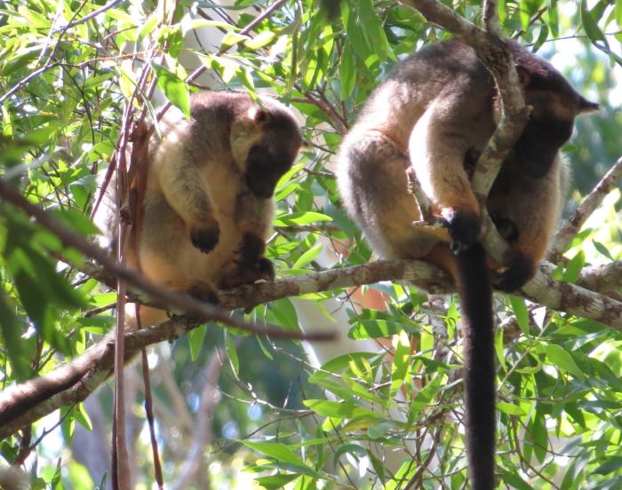 Lumholtz's Tree-kangaroos
