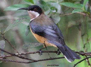 Eastern Spinebill by Bill Midgley