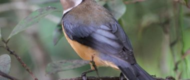 Eastern Spinebill