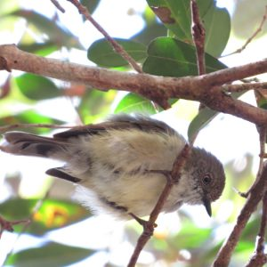 Mountain Thornbill