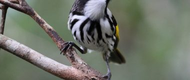 White-cheeked Honeyeater by Bill Midgley