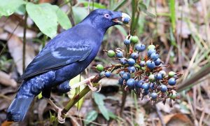 Satin Bowerbird male by Damon Ramsey