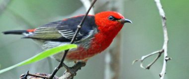 Scarlet Honeyeater by Damon Ramsey