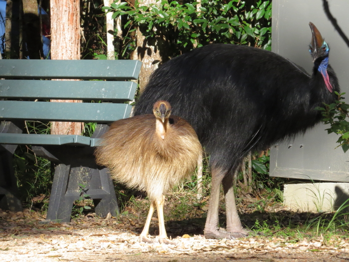 Southern Cassowary male and chick, enjoying the winter sun