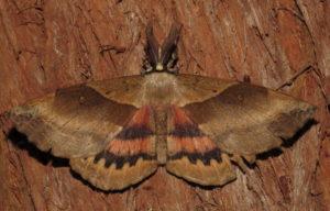 White-stemmed Acacia Moth Chelepteryx chalepteryx