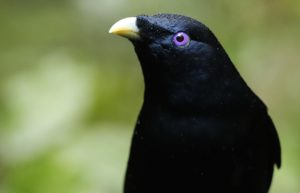 male Satin Bowerbird, by Steve Bond