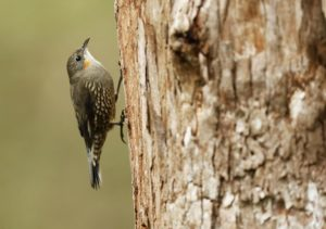 female White-throated Tree-creeper, by Steve Bond