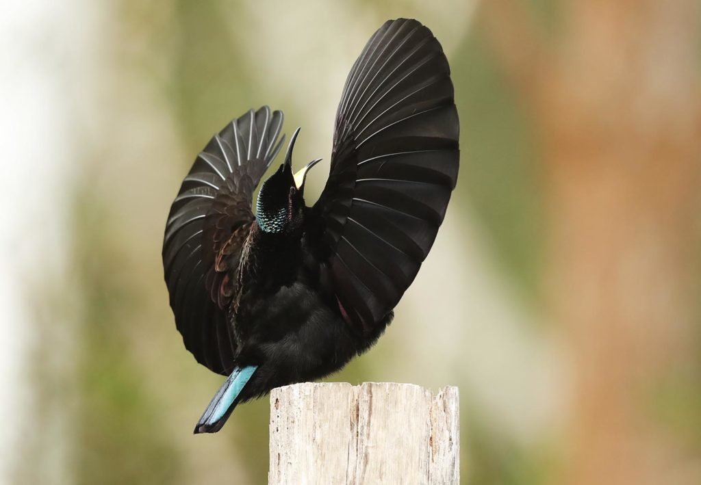mature male Victoria's Riflebird, displaying, by Steve Bond