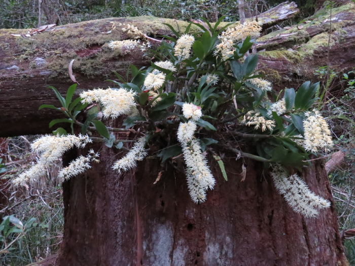 Rainforest Rock Orchid