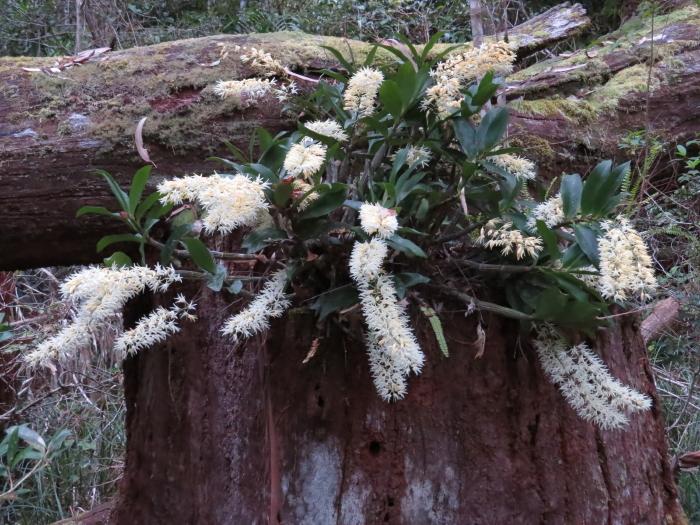 Rainforest Rock Orchid
