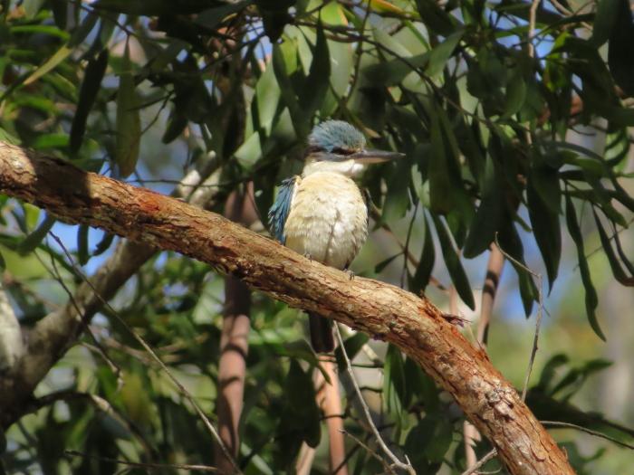 Sacred Kingfisher, fluffed up