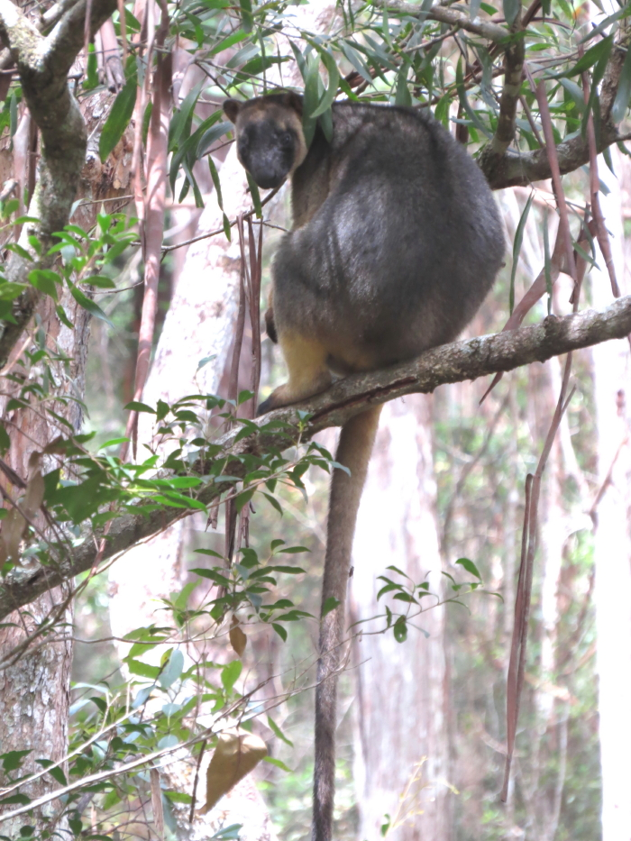 Tree-roo female