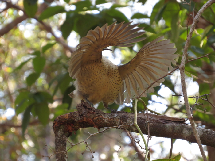 immature male Victoria's Riflebird displaying