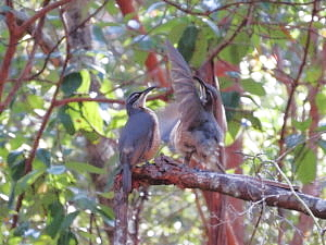 immature male Victoria's Riflebird displaying