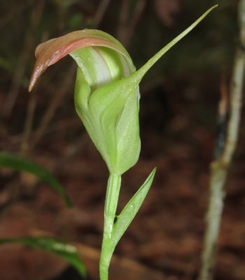 Greenhood Orchid